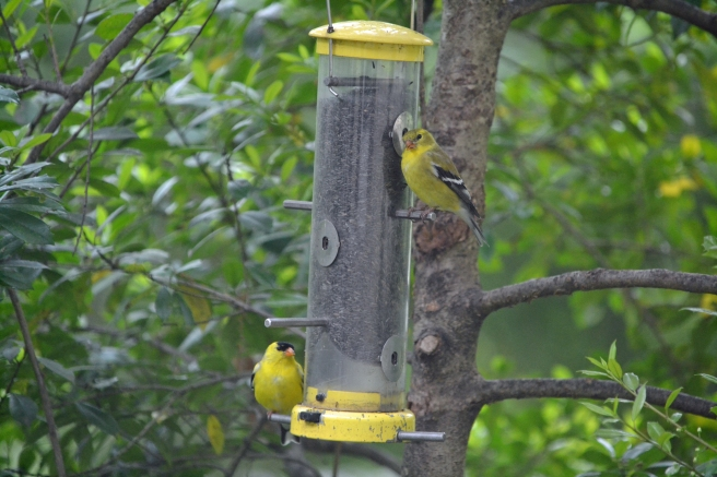 2x2 goldfinch couple at the feeder edit
