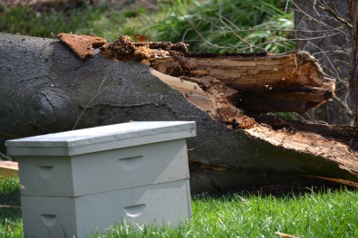 downed tree with hive